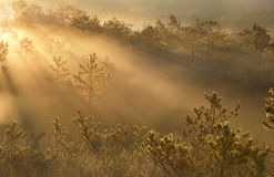 Misty sunrays in forest Royalty Free Stock Images