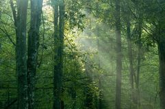 Misty sunrise  in the forest. Early summer Royalty Free Stock Photography