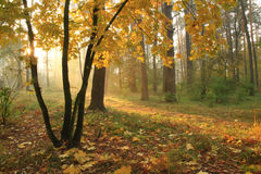 Misty sunrise in forest Stock Image