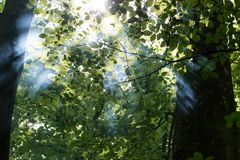 Misty sunrise in the forest. Beautiful sunlight filtering through trees in summer morning Stock Images