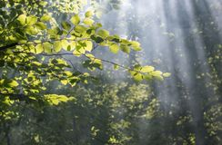 Misty sunrise in the forest. Beautiful sunlight filtering through trees in summer morning Stock Photo