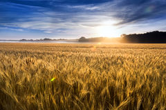 Misty Sunrise Over Golden Wheat fält i centrala Kansas Royaltyfri Bild
