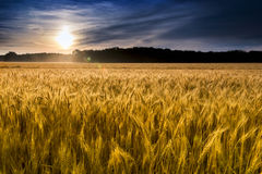 Misty Sunrise Over Golden Wheat fält i centrala Kansas Arkivbilder