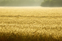 Misty Sunrise Over Golden Wheat fält i centrala Kansas Arkivfoton