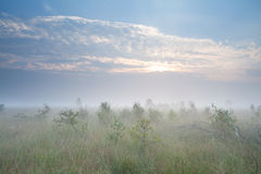 Misty sunrise over marsh with many little pine trees Royalty Free Stock Photography