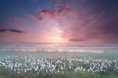Misty sunrise over swamp with cottongrass Stock Images
