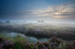 Misty Sunrise Over Swamp With Flowering Heather Stock Photos