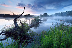 Misty sunrise on river with old tree in water Stock Image