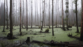 Misty swamp in the forest. Panoramic view of a misty swamp in the forest with copy space royalty free stock photo