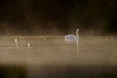 Misty Swans. Early morning in Scotland royalty free stock images