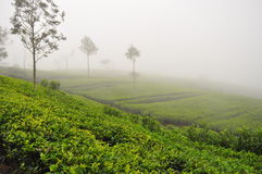 Misty Tea Plantation. A tea plantation in Sri Lanka in the mist Royalty Free Stock Images