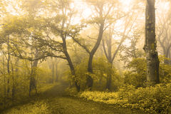 Misty trail in yellow trees forest Royalty Free Stock Photo