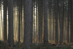 Misty trees lit by setting sun Stock Images