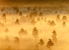 Misty Trees in the Morning Stock Image