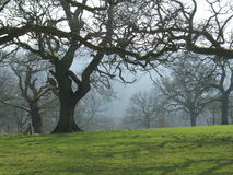 Misty Trees in Winter. Photograph taken in the cotswolds UK Stock Photography