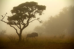 Misty wildebeest Stock Photos