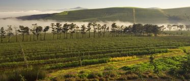 Misty Winelands. Winelands with some trees and mist in the background Royalty Free Stock Photography