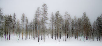 Misty winter forest