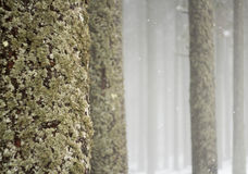 Misty winter woods Royalty Free Stock Images