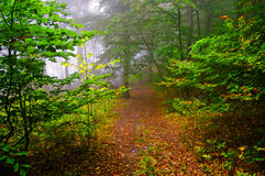 Misty wood. Green summer wood with a misty light Stock Photography