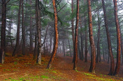 Misty wood. Mysterious deep wood in autumn Royalty Free Stock Photos