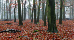 Misty wood. Early morning in a beech wood Royalty Free Stock Photography