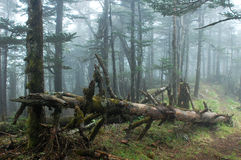 Misty Woods Royalty Free Stock Photography