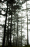 Misty woods Stock Photo