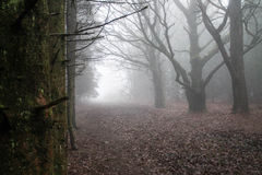 Misty Woods. Misty afternoon in Candy Woods Oswestry Shropshire on Offa's Dyke Path Stock Photos