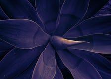 Mistyczna roślina agawy modny stonowany pozafioletowy Fotografia Stock
