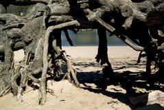 Mistyczni korzenie w lesie Obraz Stock