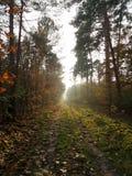 Mistyczny światło w lesie Zdjęcia Stock