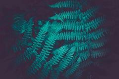Mistyczny kolorowy jaskrawy - zielona paproć opuszcza tło Egzota fe Zdjęcie Royalty Free