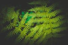 Mistyczny kolorowy jaskrawy - zielona paproć opuszcza tło Egzota fe Obrazy Royalty Free