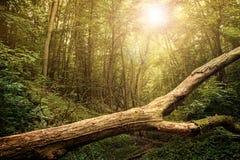 Mistyczny las Zdjęcie Royalty Free