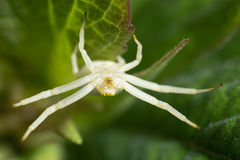 Misumena vatia颠倒螃蟹蜘蛛在叶子 图库摄影