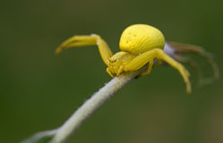 Misumena vatia. Yellow spider on a green grass Stock Photography