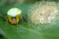 Misumena vatia crab spider with egg sac Royalty Free Stock Photo