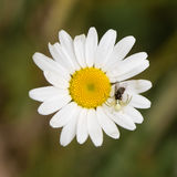 Misumena vatia crab spider with fly on daisy Royalty Free Stock Images