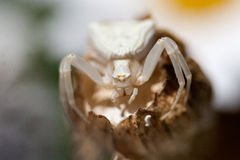 Misumena vatia. Is a species of crab spider. May be yellow or white, depending on the flower in which they are hunting Stock Images