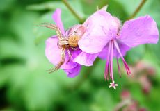 Misumena vatia spider hunting Royalty Free Stock Photo