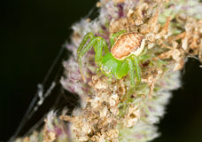 Misumenops tricuspidatus. Male of Misumenops tricuspidatus on flowers in nature Royalty Free Stock Image