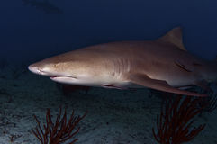 The Misunderstood Lemon Shark. Receiving a bad rap, the lemon shark s actually a very docile animal who prefers to run away from people rather than attack them Stock Images