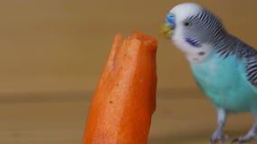 Misura di undulatus del Melopsittacus di pappagallino ondulato video d archivio