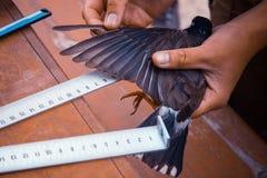 Misurazione dell'ala di un uccello fotografie stock libere da diritti