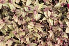 Misuri la pianta, l'ebreo errante o lo zebrina in pollici di tradescantia Fotografia Stock