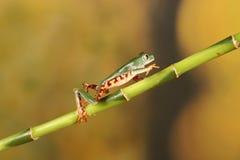 Mit Beinen versehener Frosch Baum des Tigers auf Bambus Stockfotografie