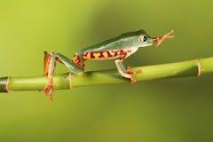 Mit Beinen versehener Frosch Baum des Tigers auf Bambus Stockfotos