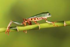 Mit Beinen versehener Frosch Baum des Tigers auf Bambus Lizenzfreies Stockfoto