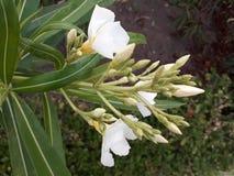 Mit der gesetzten Knospe der weißen Blume lizenzfreies stockbild